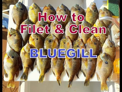 How to Filet and Clean Bluegill Panfish.  Including fishing techniques