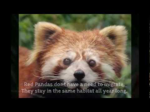 Why Red Pandas are Endangered!