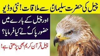 Hidden And Interesting Facts About Kite Bird (Cheel) in Hindi/Urdu | Kite Birds!