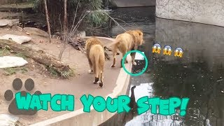 Lion Falls into the Water in German Zoo - Hilarious Animal Fail