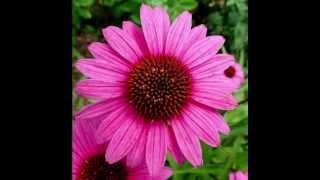 Echinacea Herb Health Benefits