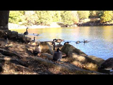 Live Canadian Geese getting loud