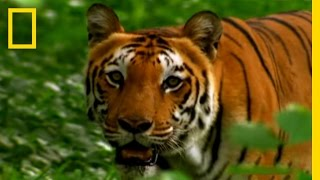 Tigers Prey on People | National Geographic