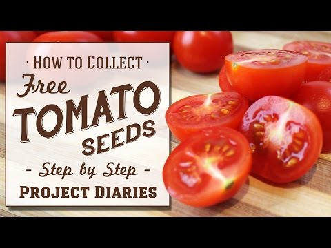 ★ How to: Collect Tomato Seeds (A Complete Step by Step Guide)