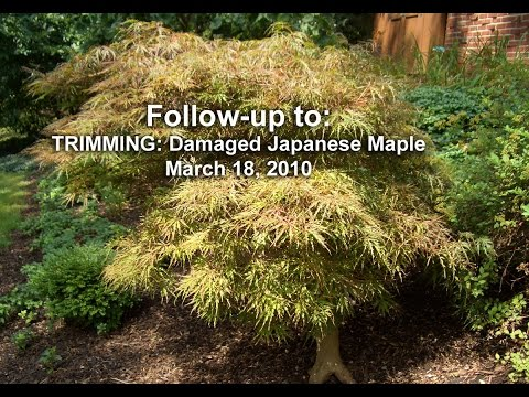 Follow-up: TRIMMING - Damaged Japanese Maple video