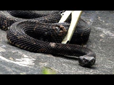 Xxx Mp4 Rattlesnake Hunting Season 2018 Pennsylvania Opening Day Leatherwood Outdoors 3gp Sex