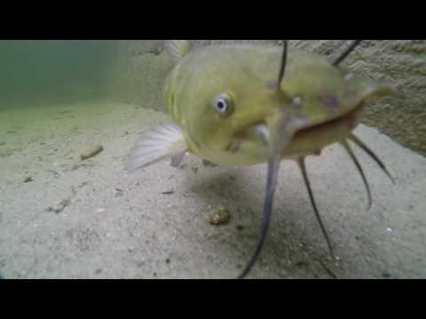 Bullhead Catfish in Long Lake, Maine