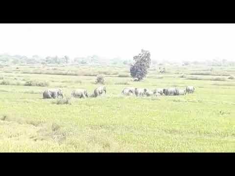 नदी मोड़ महासमुंद   (छत्तीसगढ़) में हाथियों ने फसल को रोंदा