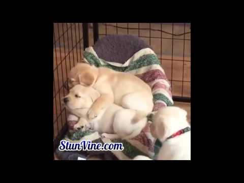Lovely Labrador Retriever Puppies Keep Warm To Each Other