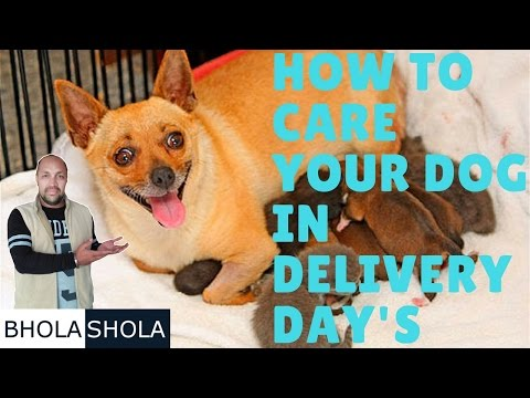 Pet care - How to Care Your Dog in Delivery Day's  - Bhola Shola