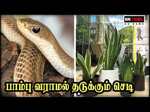 How to Keep Snakes Out of Your House பாம்பு வீட்டில் வராமல் இருக்க இந்த செடியை வளருங்கள்