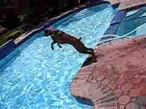 Boxer pup's pool dive