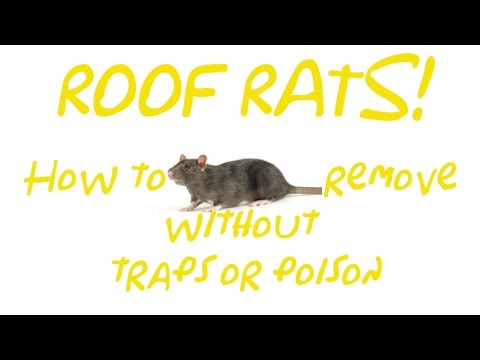 Removing Roof Rats Without Traps or Poison