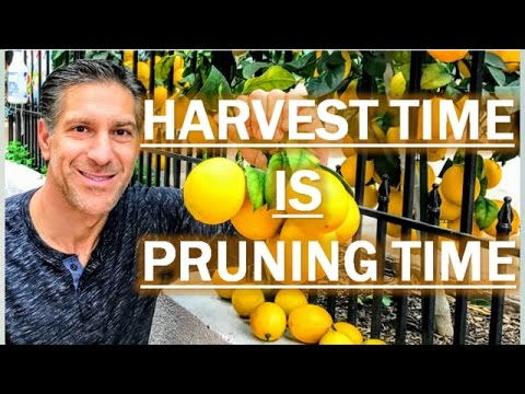 Winter Citrus Harvest Time, Is Pruning Time TOO!