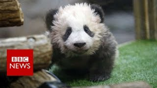 Mrs Macron meets angry baby panda - BBC News