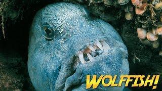 Wolffish & Wolf Eels | JONATHAN BIRD