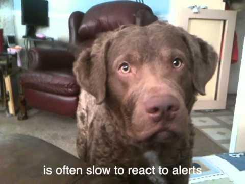 Diabetic Alert Dog in Action