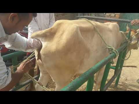 Artificial insemination of a Cow in India / गाय भैस को ग्याभीन करने का तरीका गलत है या सही