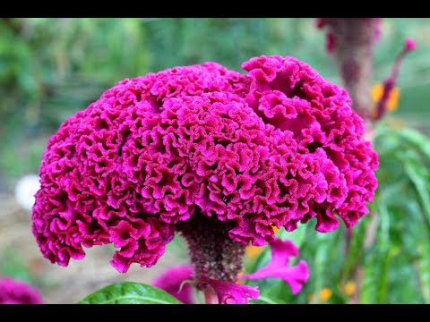 Cockscomb Flowers-Celosia-How To Save Seeds