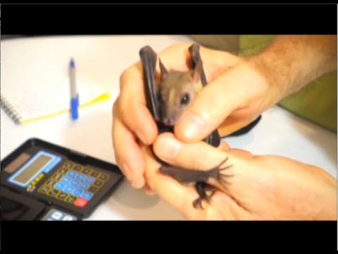 Taming Wild Bats for Photography - Official Trailer