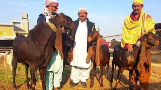 Kamori goats of Shah |Complete Documentary - The Most