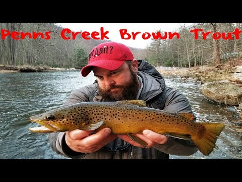 Penns Creek Brown Trout Fishing