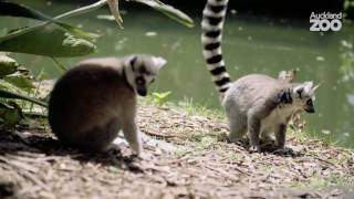 Zoo Tales - Sun-worshipping lemurs