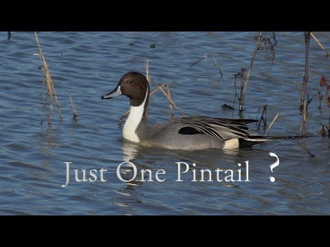 Just One Pintail?