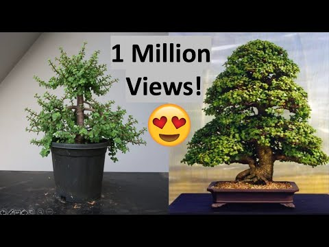 Awesome Making Dwarf Jade Bonsai Formal Upright Style Repotting Pruning Wiring Cloud Oideiuggs Outletorg