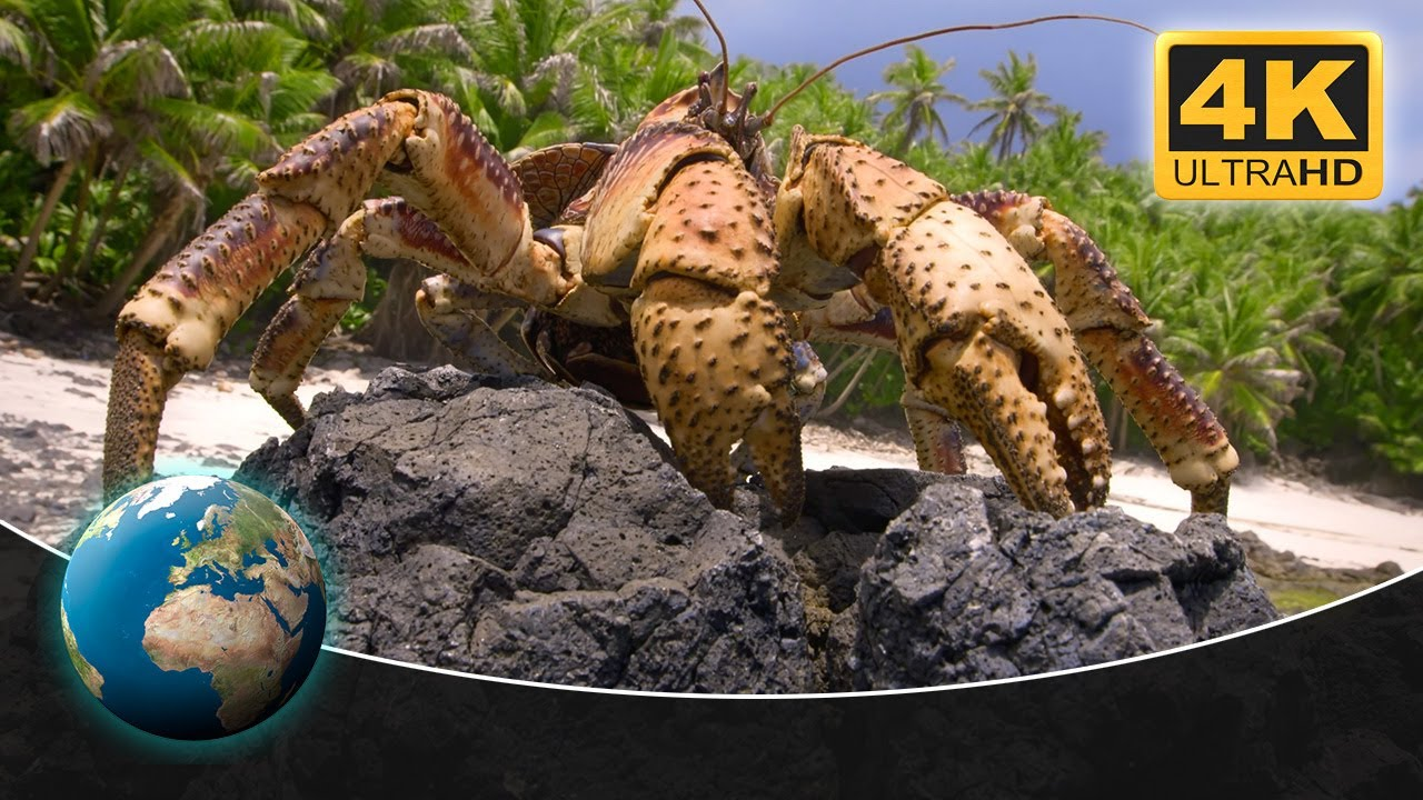 Gigantic Robber Crabs on Christmas Island | 4K