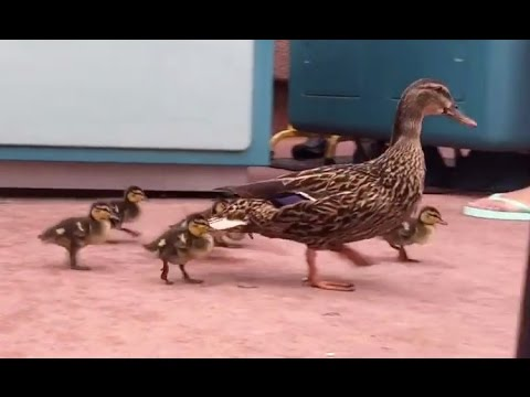 Baby ducks rounded up by a Disney cast member at Epcot