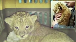 Undocumented Lion Cub Found Smuggled Among 2,245 Parrots and 4 Cats