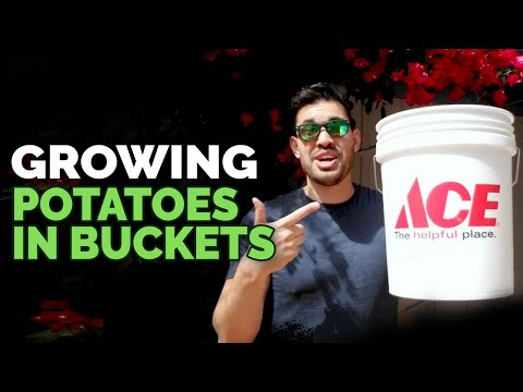 How to Grow Potatoes in Buckets: Planting Techniques!