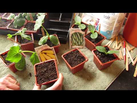 How and When to Seed Start Zucchini & Squash Indoors: Warm Weather - The Rusted Garden 2014