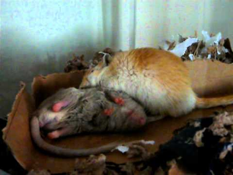 Gerbils grooming - Peppy and Chilly