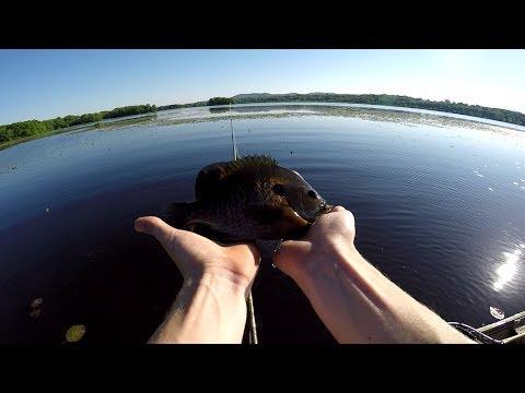 Fly Fishing Spawning Bluegills