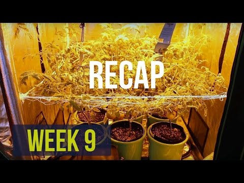 Complete Hydro Grow Tent Kit System - Week 9: Counting Down To The Hydroponic Harvest (RECAP)