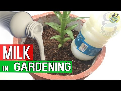 MILK IN GARDENING - Benefits of Milk in Garden Soil as Fertilizer - Blossom End Rot Treatment