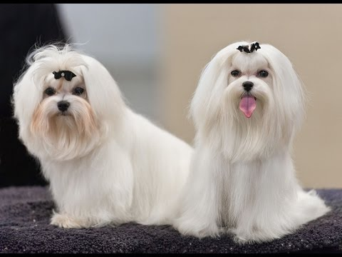 Maltese Dog Potty Training Tips - Free Mini Course