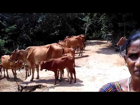 Grassing type of Cattle Rearing