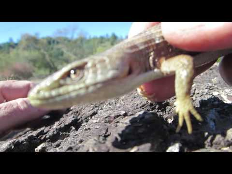 I Just Love Finding Alligator Lizards In The Santa Cruz Mountains