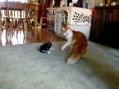 New Kitten's 1st Play With 11 Year Old Cat
