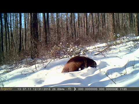WOLVERINE IN WINTER: Wolverine are good hunter in deep snow, Inner Mongolia China