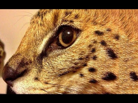The Most Adorable Pet Cat - Serval