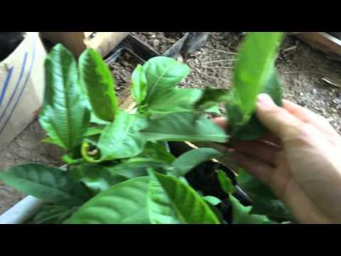 Tropical Fruit Seedlings