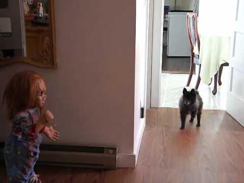 my dog KATO meets  CHUCKY