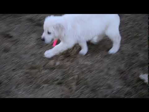 PuppyFinder.com : AKC Registered Golden Retriever Puppy