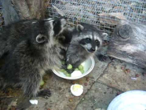 Baby raccoons eating grapes and eggs, Animal Advocates, Mary Cummins