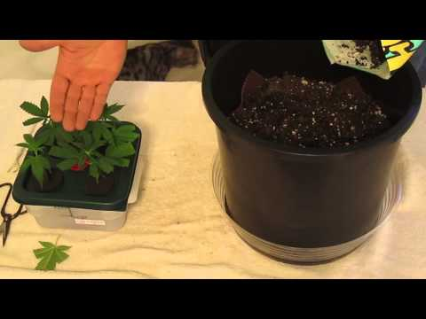 How to, Quick and Easy Clone Transplant into Soil Grows.