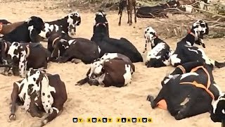 Hyderabadi Patira Punjabi Goats At 2210 Goat Farm  - PakVim net HD